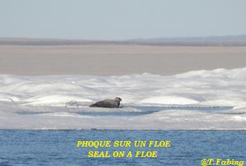 phoque sur floe.jpg